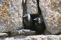 Dohle, Paar, Pärchen in einer Mauernische, die als Brutplatz dient, Coloeus monedula, Corvus monedula, jackdaw