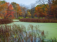 Autumn colors brighten the shore of Duckweed covered Mark's Pond in a DuPage County, Illinois forest preserve
