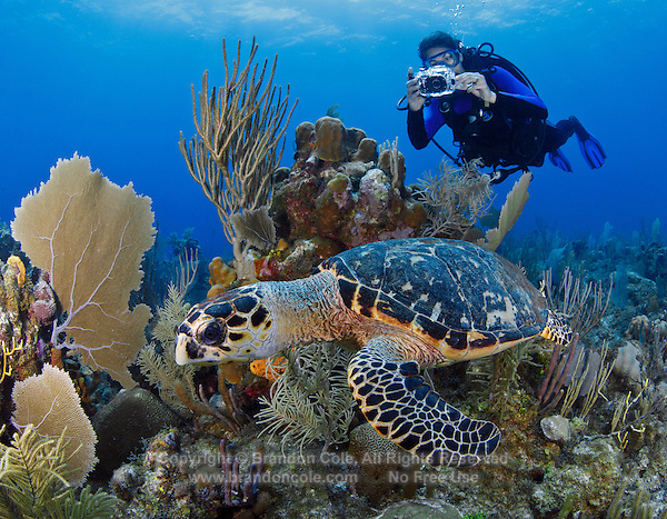 TR0146-D. Hawksbill Sea Turtle (Eretmochelys imbricata) swimming over shallow coral reef while scuba diver (model released) takes a picture. Cayman Islands, Caribbean Sea.<br /> Photo Copyright &copy; Brandon Cole. All rights reserved worldwide.  www.brandoncole.com