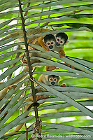 Bolivian squirrel monkeys (Saimiri boliviensis) on a palm frond in lowland tropical rainforest, Manu National Park, Madre de Dios, Peru.