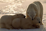 A polar bear mother watches over her two cubs as they rest on the ice in Churchill, Manitoba, Canada.