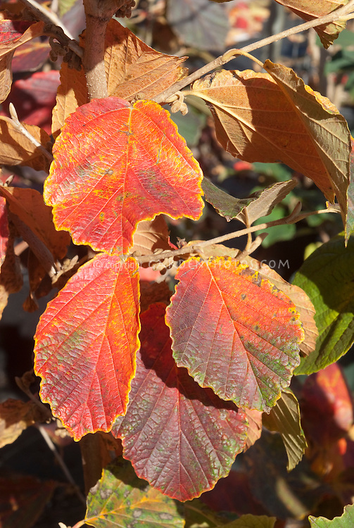 Hamamelis x intermedia 'Diane' fall foliage