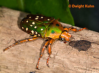 1C37-541z  Scarab Beetle, Stephanorrhina princeps, Africa