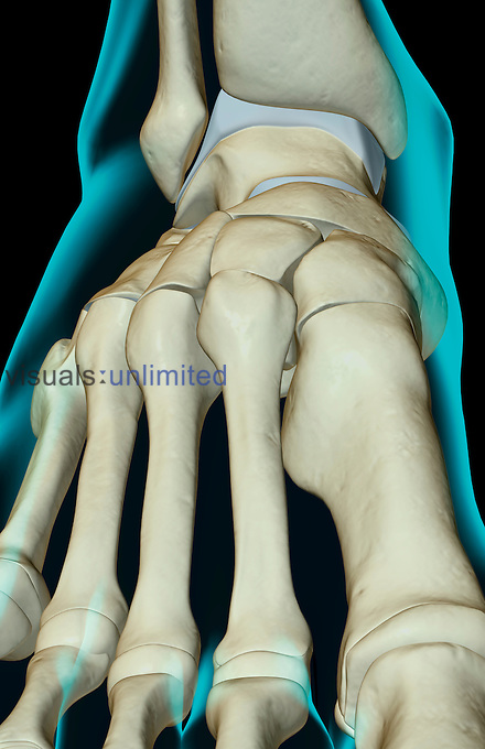 An anterior view of the bones of the foot. The surface anatomy of the body is semi-transparent and tinted green. Royalty Free
