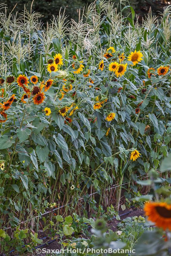 Sunflowers and corn bordering the vegetable Community Garden of Healdsburg Senior Living Center, California