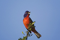 Painted Bunting (Passerina ciris), adult singing, Sinton, Corpus Christi, Coastal Bend, Texas, USA
