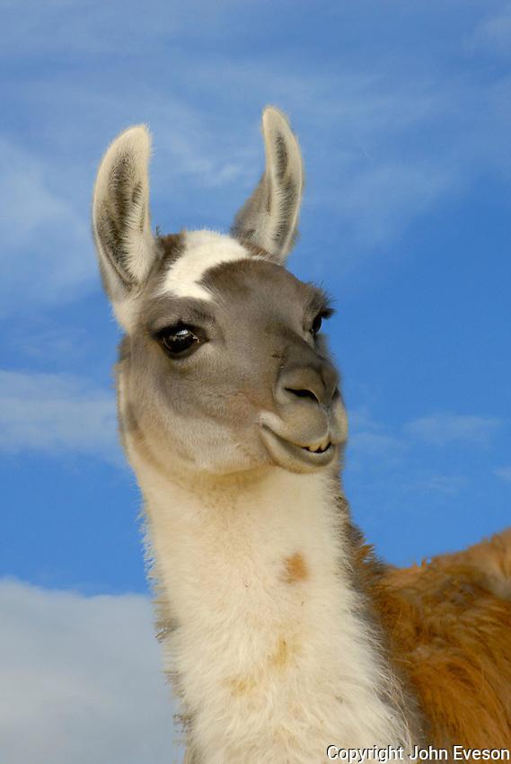Llamas head.