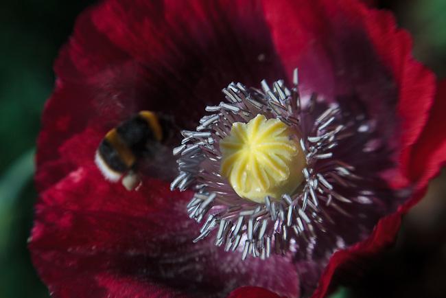 Lensbaby Poppy Pollination Bloom Macro Series #1
