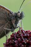 Meadow brown butterfly, maniola jurtina in Hay Meadow - Clattinger farm, Wiltshire