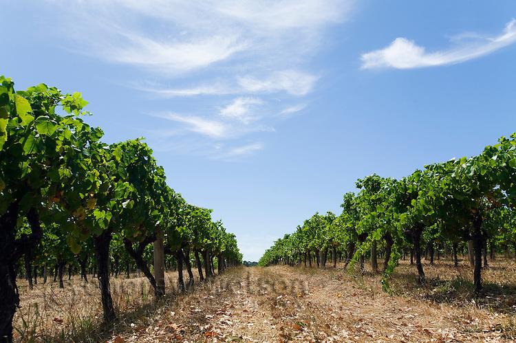 Vineyard in the renowned wine region of Margaret River, Western Australia, AUSTRALIA.