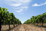 Vineyard in the renowned wine region of Margaret River, Western Australia, AUSTRALIA.