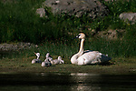 Trumpeter swan resting with four cygnets on bank of Gardiner River in Yellowstone National Park