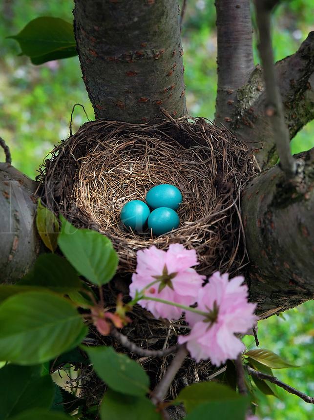Robin's nest eggs.
