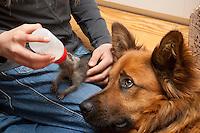 Junger Waschbär, Wasch-Bär wird von Hand aufgezogen, Welpe wird mit Milch gefüttert, Haushund guckt zu, verwaistes Jungtier, Aufzucht eines Wildtieres, Procyon lotor, common raccoon