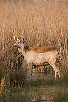 Indian Sambar, Rusa unicolor, female deer in Rajbagh Lake in Ranthambhore National Park, Rajasthan, India