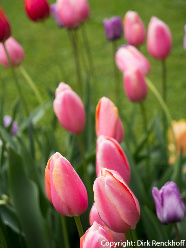 Tulpen, Gartenanlage Stiegeler Park, Konstanz, Baden-W&uuml;rttemberg, Deutschland, Europa<br /> tulips, Stiegeler Park gardens, Constance, Baden-W&uuml;rttemberg, Germany, Europe
