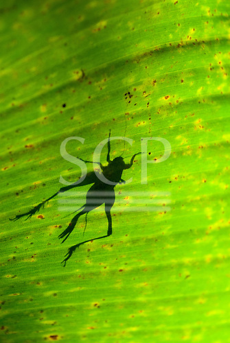 Mato Grosso State, Brazil. Aldeia Metuktire. Shadow of cricket though a wild banana leaf.