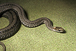 Red-bellied snake, Storeria occipitomaculata