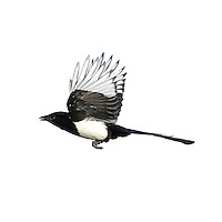 Magpie Pica pica L 45-50cm. Unmistakable black and white, long-tailed bird. Seen in small groups outside breeding season. Varied diet includes fruit, insects, animal road kills and eggs and young of birds. Sexes are similar. Adult and juvenile are mainly black with white belly and white patch on closed wing. Bluish green sheen on wings and tail seen in good light. In flight, outer half of rounded wings is white. Voice Utters a loud, rattling alarm call. Status Widespread resident of lightly wooded habitats and urban areas.