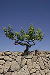 Grape vine against a blue sky. south of Tenerife,Canary Islands.
