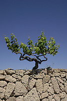 Grape vine against a blue sky. south of Tenerife,Canary Islands.