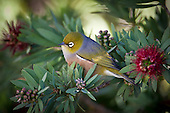 A Silvereye rests amongst Bottlebrush branches. Silvereye's (Zosterops lateralis) also known as Wax eye's or White eyes are a small passerine that is native to New Zealand and Australia and can be found in most settled habitat. They feed on insects, nectar, fruit and berries and are more noticeable in flocks during the winter months. They are easily attracted to feeding stations where sugar water and fruit are available and can be quite aggressive towards each other with displays of wing fluttering and beak clattering. Their origin in New Zealand isn't clear as they were only first observed here in 1832 and could have been swept eastward from Australia by storm or possibily followed a ship across the Tasman Sea. Their Maori name Tauhou (Little Stranger) reflects their recent arrival.