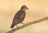 Spotless Starling - Sturnus unicolor - juvenile