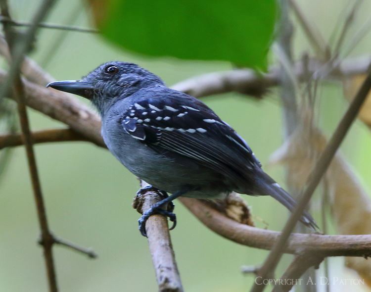 Male dot-winged antwren