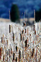 WETLANDS<br /> Cattails (Typha augustifolia)<br /> Cattails have long rootstocks, long, flat leaves; and cylindrical flowers and fruits.  It grows fast and spreads quickly when sufficient water is available.  The most common species grows to about 1 to 2 meters.