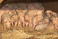 Six to seven week old weaners.