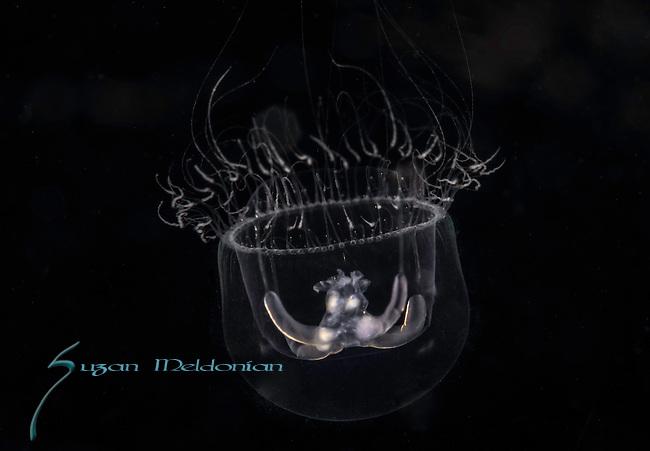 Phialella forlklandica,  Jellyfish, hydrozoa