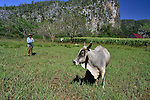 A  Cuban farmer gathering his grazing ox near Vinales, Cuba