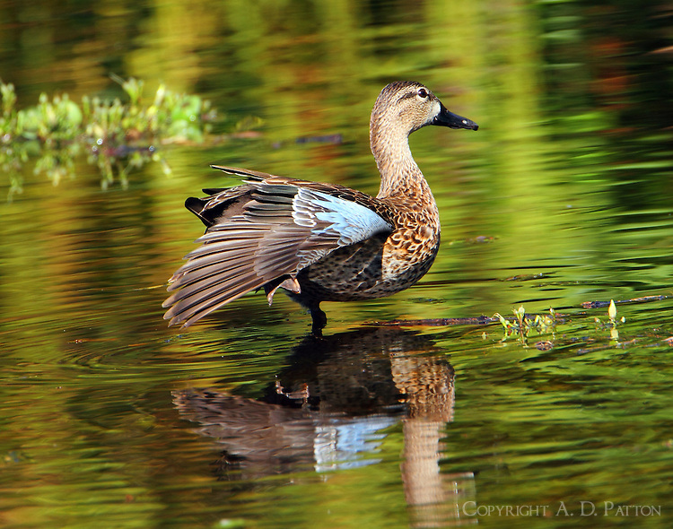 Female blue-winged teal stretches her wing