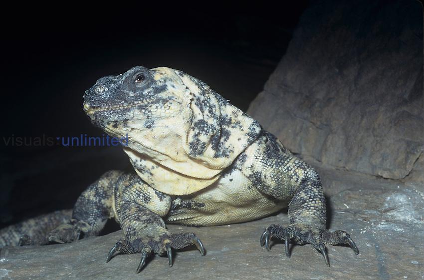 San Esteban Island Chuckwalla (Sauromalus varius), Isla San Estebon, Sea of Cortez, Mexico, an endangered species.