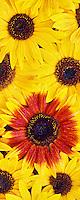 Ornamental sunflowers with mist. Oregon