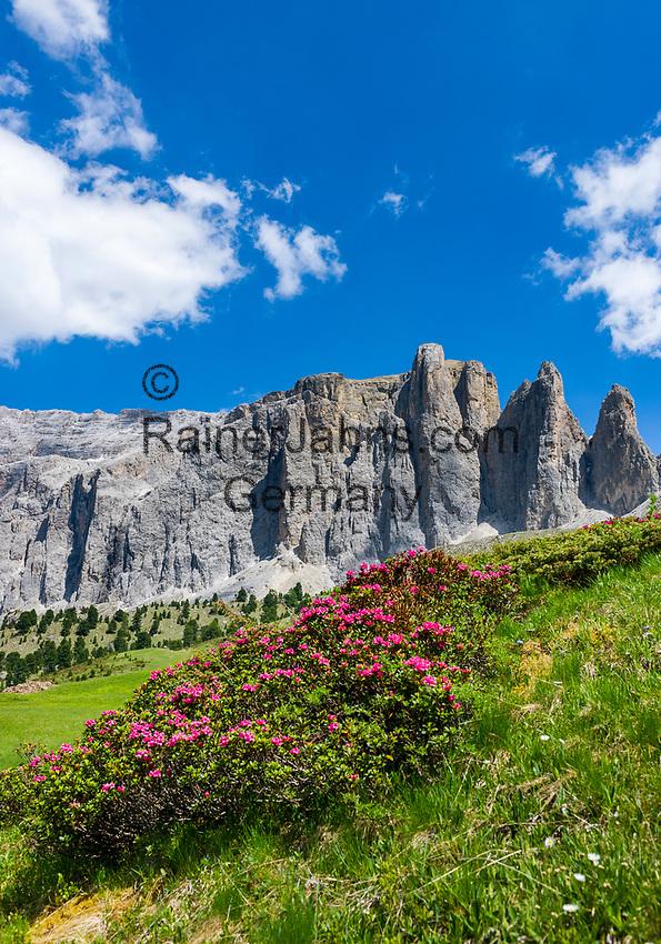 Italy, South Tyrol (Trentino - Alto Adige), Dolomites, near Selva di Val Gardena: alpine rose blossom with Sella Group at Sella Pass Road | Italien, Suedtirol (Trentino - Alto Adige), oberhalb von Wolkenstein in Groeden: Alpenrosenbluete vor der Sella Gruppe mit den Sellatuermen an der Sella-Joch-Passstrasse