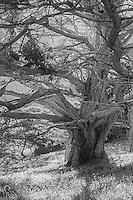 Monterey Cypress in fog