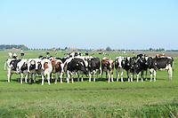 ALGEMEEN: JOURE: 02-10-2013, Koeien, ©foto Martin de Jong