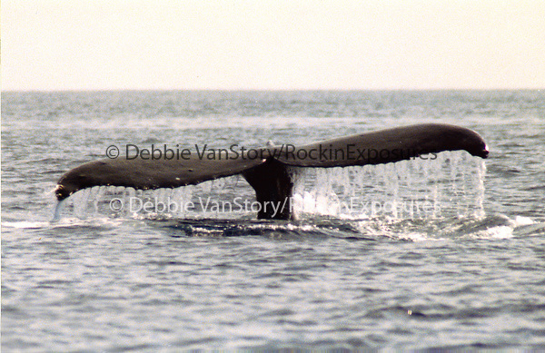 A large Humpback Whale exposes it's massive tail off of The Maui coastline in the AuAu Channel on January 12,1997.© Debbie VanStory/RockinExposures.