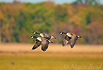 Canada Geese (Branta canadensis), group of three in flight against background of autumn colors, Montezuma National Wildlife Refuge, New York, USA