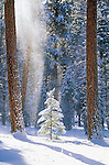 Snow falling from tall ponderosa pine trees onto a small tree in the Lubrecht Forest in Montana
