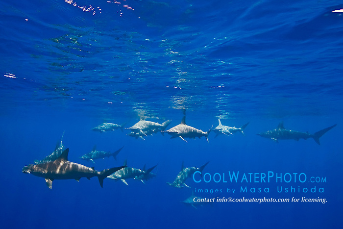 schooling scalloped hammerhead sharks, Sphyrna lewini, off Kona Coast, Big Island, Hawaii, Pacific Ocean