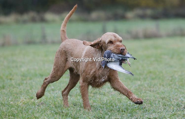 """Foto: VidiPhoto<br /> <br /> DOORWERTH – In de weilanden rond kasteel Doorwerth in de gelijknamige plaatsen, strijden maandag achttien jachthonden om de titel""""Beste jachthond van Nederland"""". De zogenoemde Nimrod wordt jaarlijks georganiseerd waar achttien honden na een voorselectie aan deel mogen nemen. Iedere jachthond mag slechts eenmaal in zijn leven meedoen aan Nimrod. Van ieder jachthondenras wordt alleen de best presterende hond gevraagd om mee te doen. In totaal doen er elf verschillende rassen mee die in drie verschillende nagebootste jachtsessie het 'geschoten' wild moeten binnenhalen. De soorten wild zijn vooraf aangeschaft via een poelier. Goed opgeleide jachthonden zijn onmisbaar voor de weidelijke jacht in Nederland. Een goede jachthond speurt het wild op en haalt het geschoten wild. Daarbij moeten zij zich niet door barrières van water, riet, struiken et cetera laten hinderen, ze moeten de instructies van hun baas direct en goed opvolgen maar de jachthonden moeten ook zelfstandig kunnen werken. Nimrod trekt ieder jaar duizenden bezoekers uit binnen- en buitenland."""
