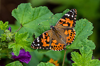 Painted Lady Butterfly (Vanessa cardui) in flower garden.  Oregon.  July.