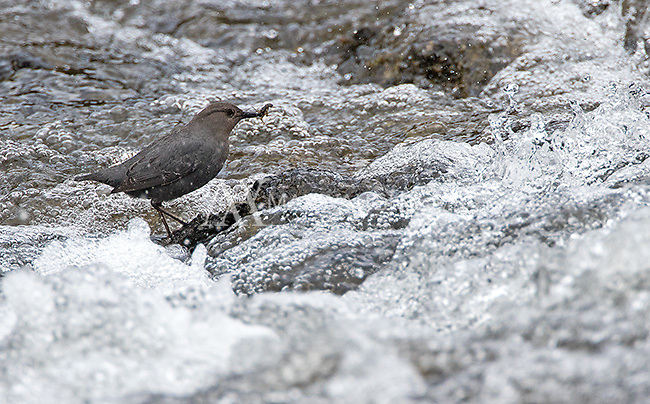 An American dipper, which was hunting for food at LeHardy Rapids.