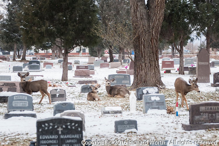 Four deer, comfortably at home among the headstones and dusting of snow at the Lakeside Cemetery, Cañon City, Colorado