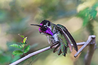 Perched Male Costa's Hummingbird (Calypte costae) stretching.  American Desert Southwest.  March.