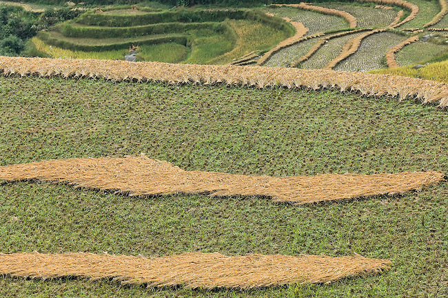 Rice is the mainstay crop.  For centuries people inthe Longsheng area have used terraces to maximize their growing area and to be able to flood their rice paddies in steep terrain.