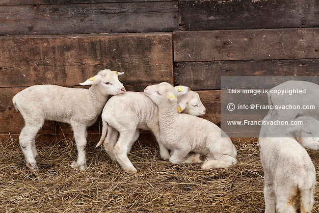 Sheeps and lambs at Ferme Eboulmontaise farm in the Charlevoix city of Les Éboulements, Qc. Charlevoix lambs are the first food product in North America to be legally protected based on its region of origin.