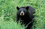 Black bear (Ursus americanus), Canada, in woodland